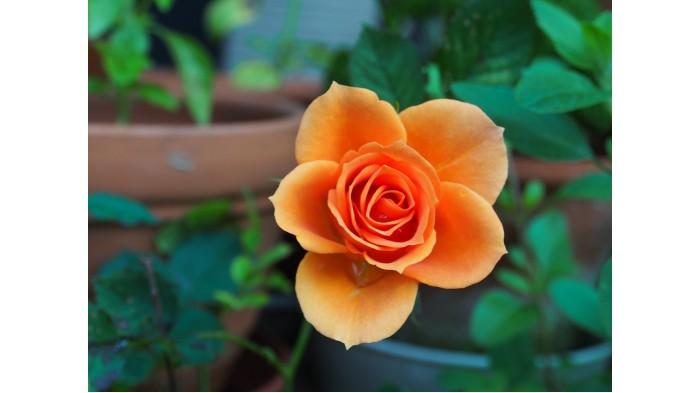 Cách tỉa Hoa hồng và những nguyên tắc cơ bản