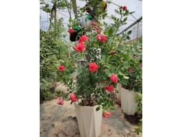 Cách trồng Hoa hồng vào chậu