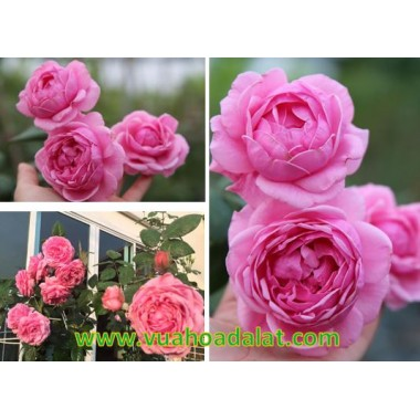 HOA HỒNG LEO BISHOP – BISHOP CASTLE ROSE
